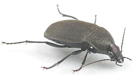 Chlaenius tomentosus -? - Chlaenius tomentosus