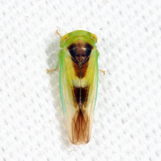 leafhopper - Idiocerus lunaris