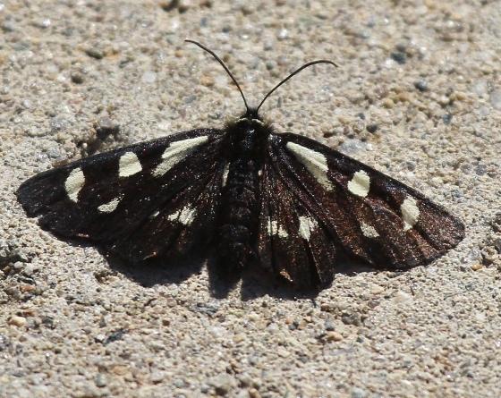 Alypia mariposa ? - Alypia mariposa