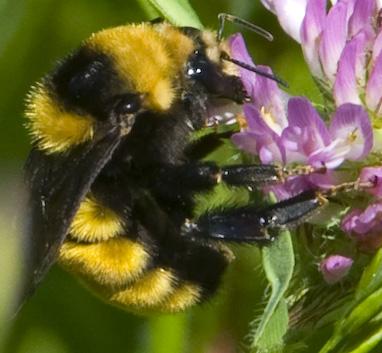 large orange bumble bee? - Bombus borealis