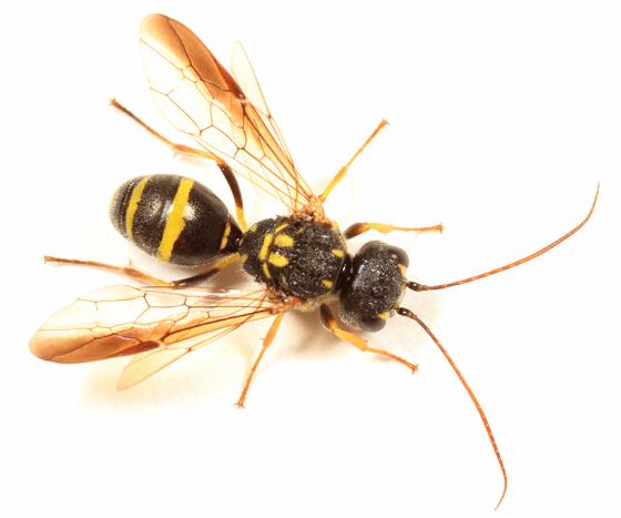 wasp - Taeniogonalos gundlachii