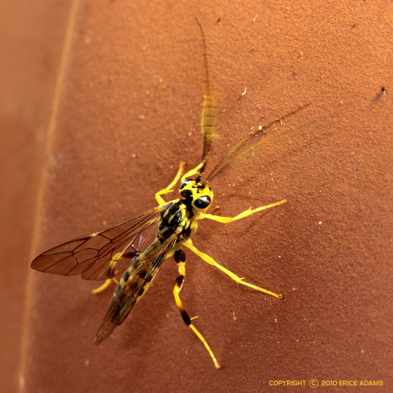 What great antennae! - Euceros - male