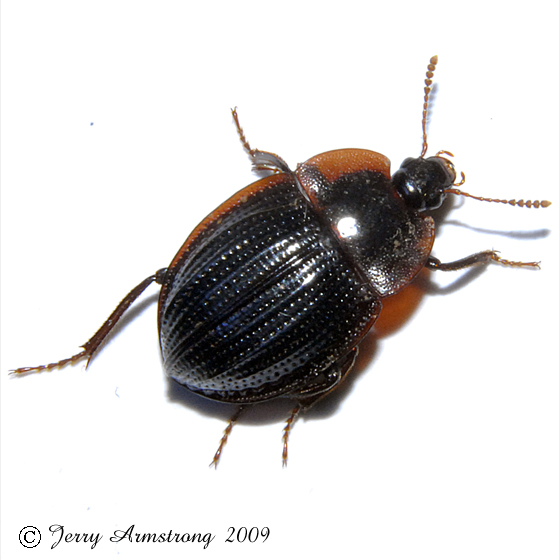 Beetle 03.23.2009 098 - Necrophilus pettiti