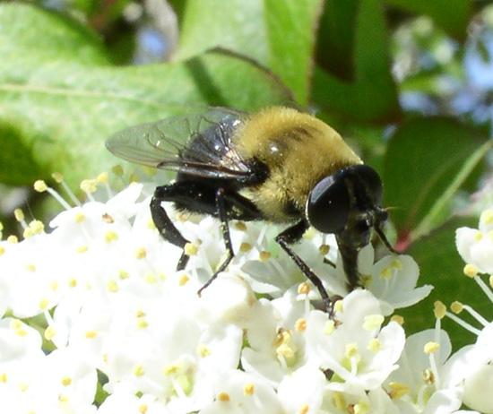 Bumblebee mimic - Mallota bautias