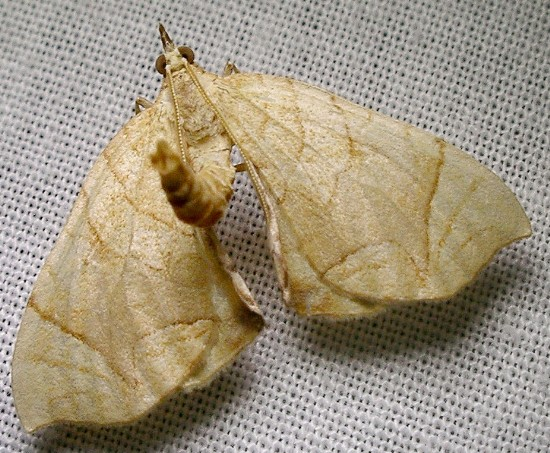 moth - Eulithis