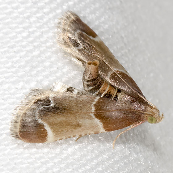 Meal Moth - Hodges#5510 - Pyralis farinalis