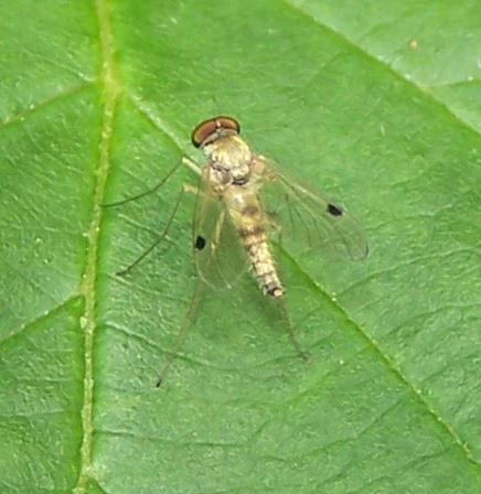 Chrysopilus modestus? - Chrysopilus modestus