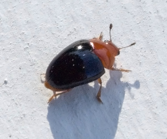 red & black beetle - Tritoma atriventris