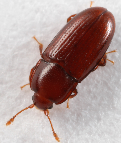 little brown beetle - Philothermus glabriculus