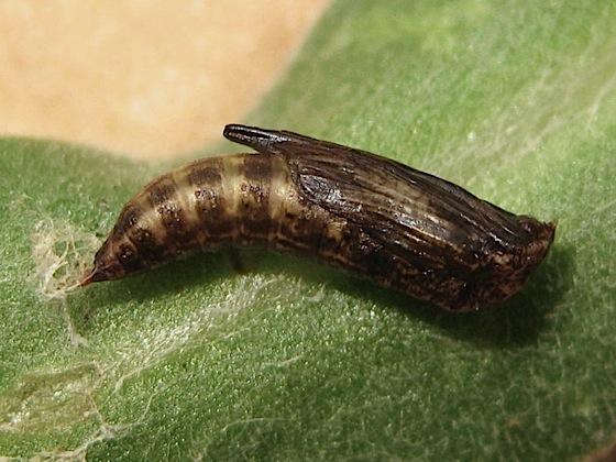 Plume moth - Platyptilia williamsii