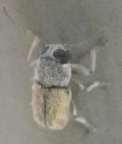 Beetle A 8.8.18