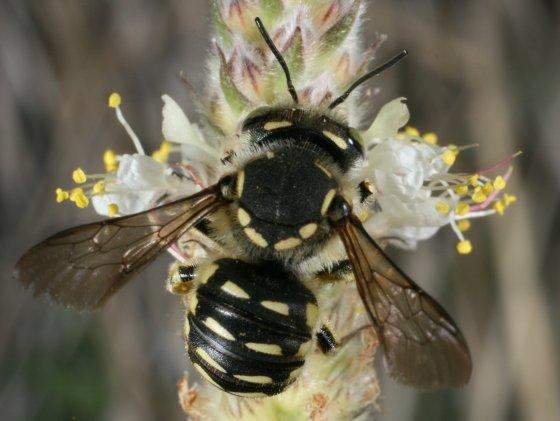 bee 107 - Anthidium