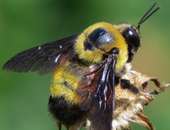 Male bumble 2 - Bombus auricomus - male