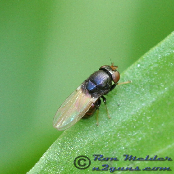 Fly 03 - Cressonomyia