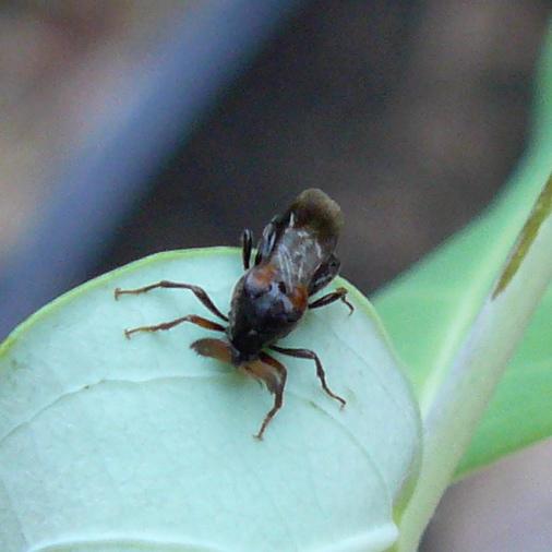 Wedge-shaped Beetle - Ripiphorus fasciatus-complex - male