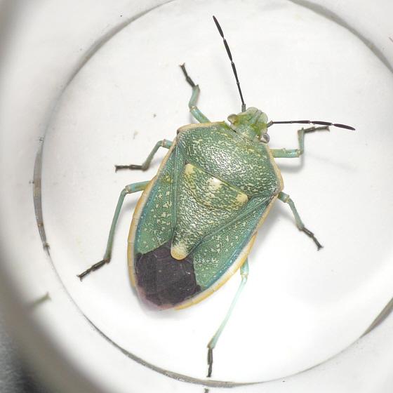 Stink bug from California 10.07.21 - Chlorochroa sayi