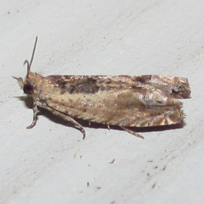 Cotton Tipworm Moth, #3274 - Crocidosema plebejana