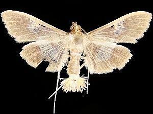Diaphania lualis - Hodges #5208 - Diaphania lualis - male