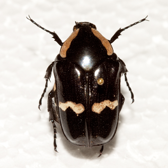 Unknown beetle - Gymnetina howdeni