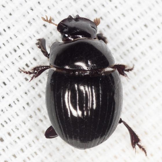 Scarab Beetle  - Ateuchus
