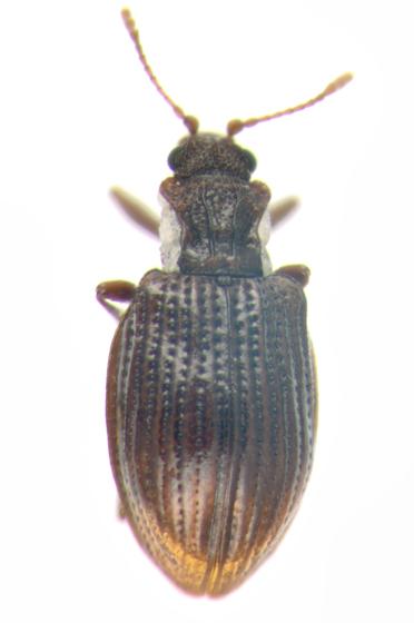 Latridiidae, dorsal - Stephostethus liratus
