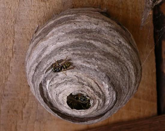 nest - Dolichovespula arenaria