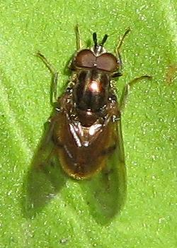 Ferdinandea croesus - male