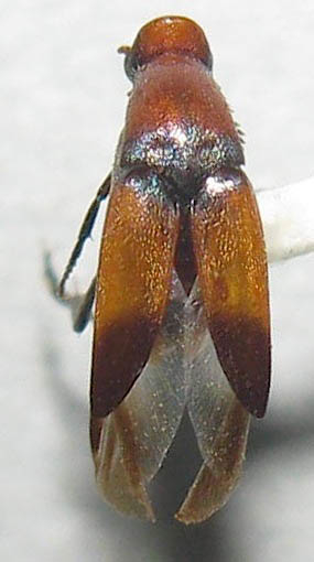 Wedge-shaped Beetle - Macrosiagon cruenta