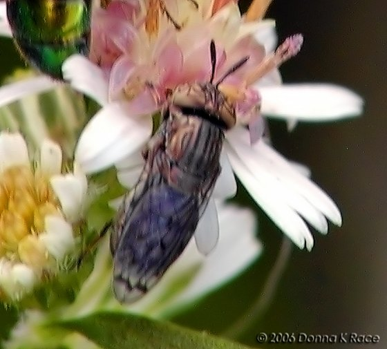 Fly ID? - Orthonevra nitida