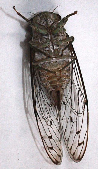 Cicada - Neocicada hieroglyphica - female