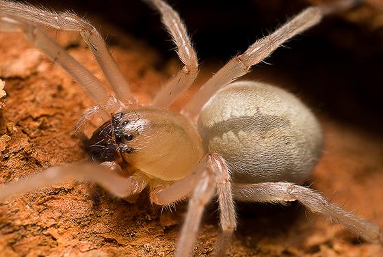 spider - Cheiracanthium