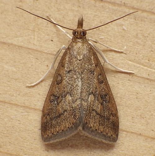 Crambidae: Udea rubigalis - Udea rubigalis