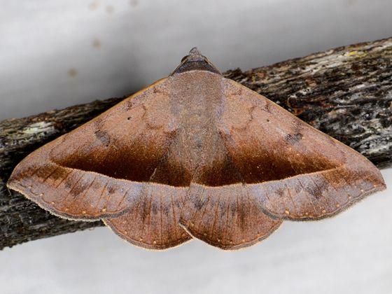 Epidromia rotundata