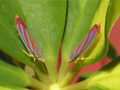 Red-banded Leafhopper - Graphocephala coccinea - Graphocephala coccinea