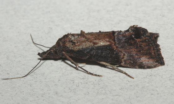Erebidae, Green Cloverworm Moth - Hypena scabra