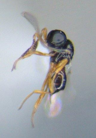 scelionid - Telenomus - female
