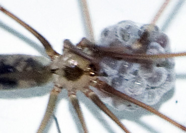 Longbodied Cellar Spider Eggs Starting to Hatch - Pholcus phalangioides - female