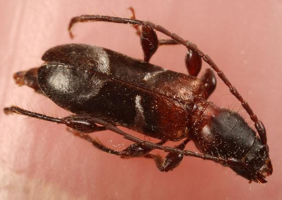 cerambycid - Eumichthus oedipus
