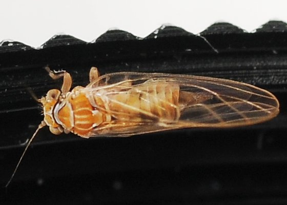 Bug - Cacopsylla rara