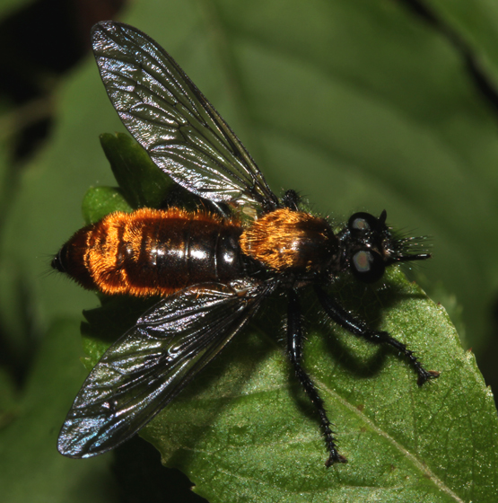 Asilidae, Bee-like Robber Fly - Laphria