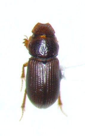 Platytomus longulus