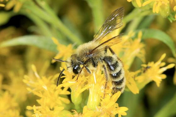 Bee - Andrena hirticincta - male