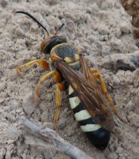 Crabronid - Stizus brevipennis - female