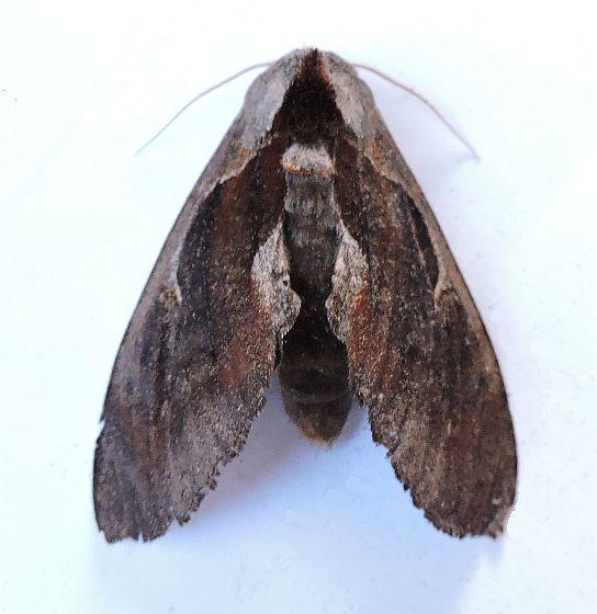 Arizona Moth - Crinodes biedermani
