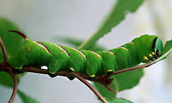 Wild Cherry Sphinx  Larva - Sphinx drupiferarum