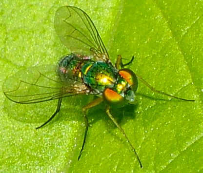 Longlegged Flies Sciapodinae Condylostylus spec.  - Condylostylus