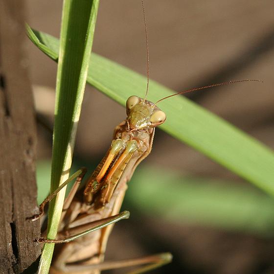 European Mantis Female - Mantis religiosa - female