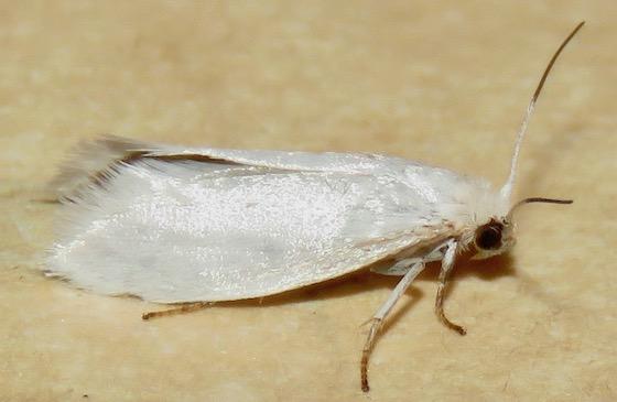 Bogus Yucca Moth - Hodges#0200.1 - Prodoxus decipiens