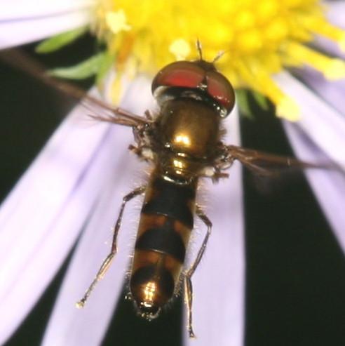 Platycheirus sp .? - Platycheirus - male