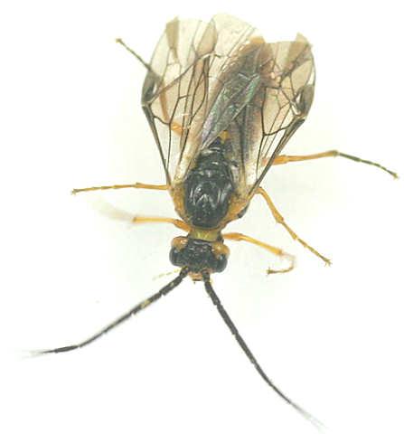 Sawfly -? - Pachynematus
